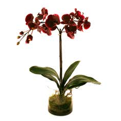 Dorma Plum Phalaenopsis in a Glass Container